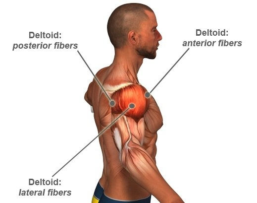 Is it advisable to work out chest and shoulder muscle ...