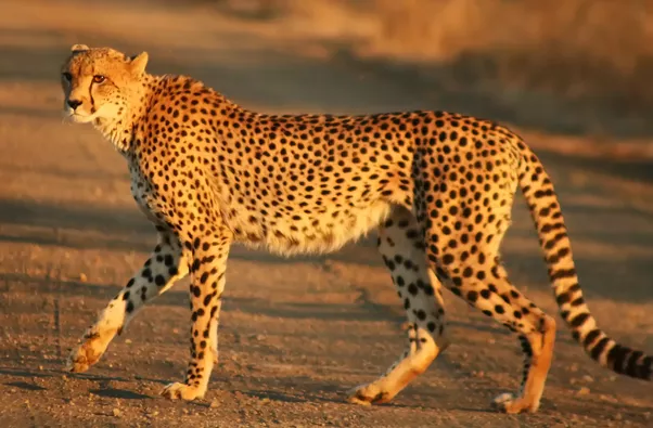 Nature Texture Wildlife Pattern Print Mammal Fauna Leopard Cheetah Ouflage Design Spots Vertebrate Jaguar Exotic Big