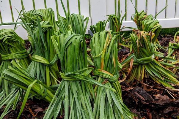 how long can you store daffodil bulbs