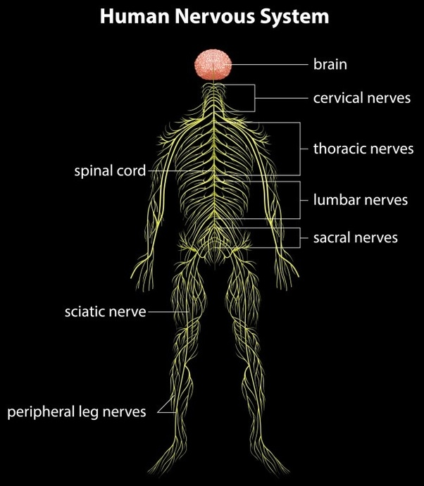 What Is The Nervous Tissue Where Is It Found Quora