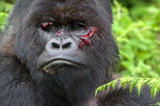 In a fight between a grizzly bear and a silverback gorilla ...