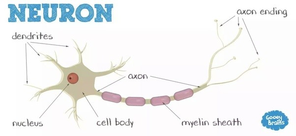 What are the different types of nerve cells quora neurons are excitableieey function by using electrical stimulation and this electrical message is known as action potential ccuart Images