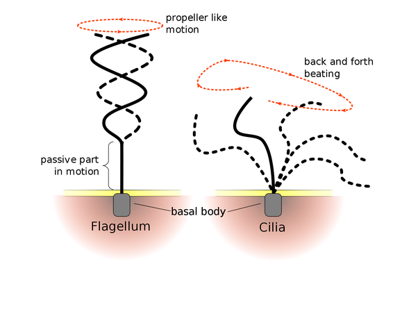 What is the flagella in an animal cell quora eukaryotic cell flagellum move in a whip like manner and have complex structure while prokaryotic flagellum move in a rotary style while having simpler ccuart Choice Image