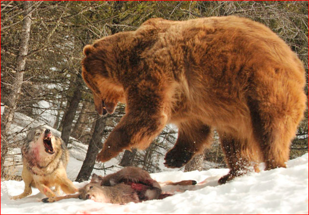 Image result for bear eating kill