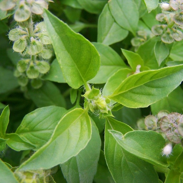 What is the difference between basil and tulsi? - Quora