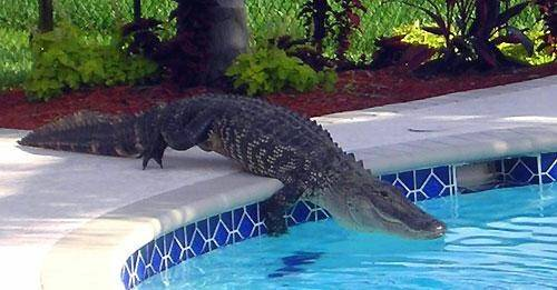 Are there alligators in miami quora - Can babies swim in saltwater pools ...