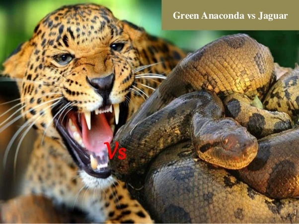 What Do Jaguars Eat >> Why Do Jaguars Eat Anacondas Quora
