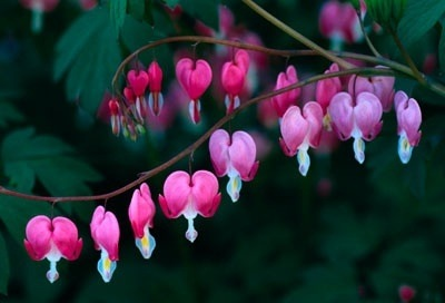 What flowers grow best in shade or low light quora bleeding hearts bloom in spring hostas bloom shortly after spanish bluebells next cranesbill geraniums sweet woodruff there are so many choices mightylinksfo