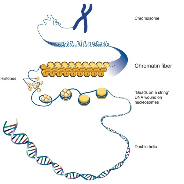 what are the differences between chromosomes, chromatids and  chromatin loose form of genetic material \u0026 the \u201cnormal state\u201d of dna, rna, and protein in the nucleus in the cells