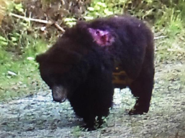 Newborn Bear Cubs
