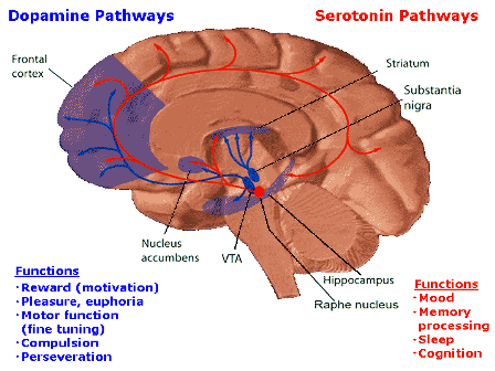 Which parts of the brain control which human behaviours quora brain that controls the reward system many hormone circuits meet here including dopamine serotonin and oxytocin other than the reward system ccuart Images