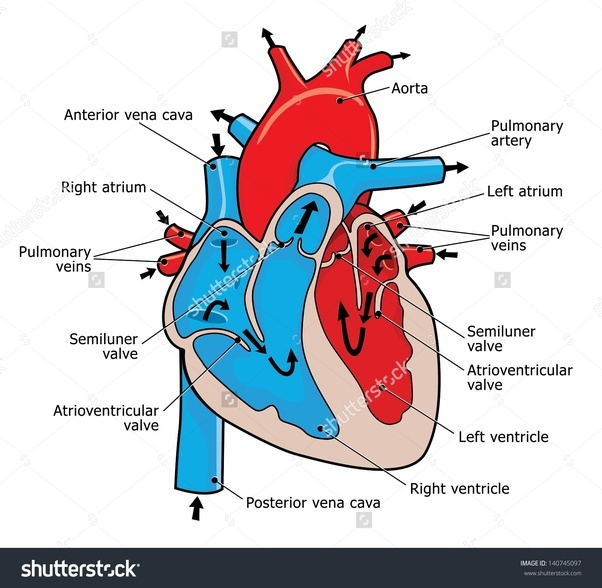 How to draw a heart in adobe illustrator quora drawing a heart from life would be challenging id probably take a photo of a model and trace it or find a good reference image to work from ccuart Image collections