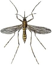 how far do mosquitoes fly