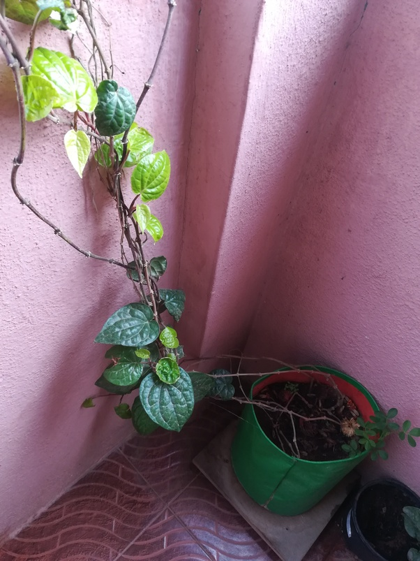 Should we plant betel plants in our home or not? - Quora