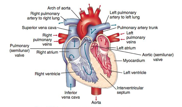 What are the differences between the ventricle and atrium of a heart blood is squeezed from the right atrium ra to the right ventricle rv through the tricuspid try kuss pid valve tv valves are considered to be ccuart Choice Image