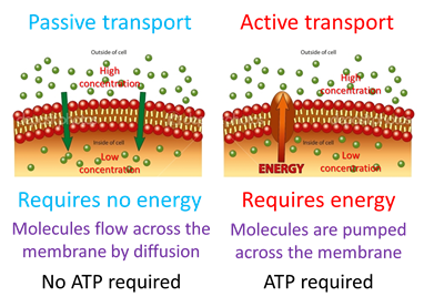 What is passive transport in cells? - Quora  Example Of Passive Transport