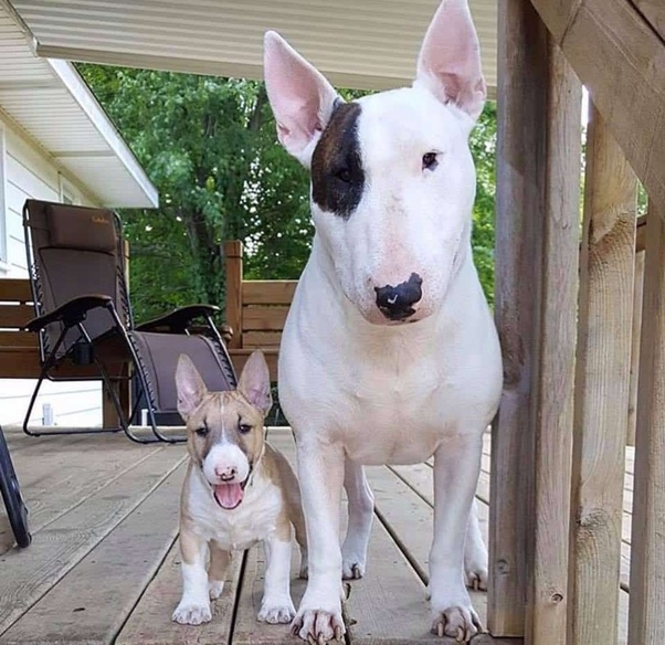 Friendly Bull Terrier Dog Breed