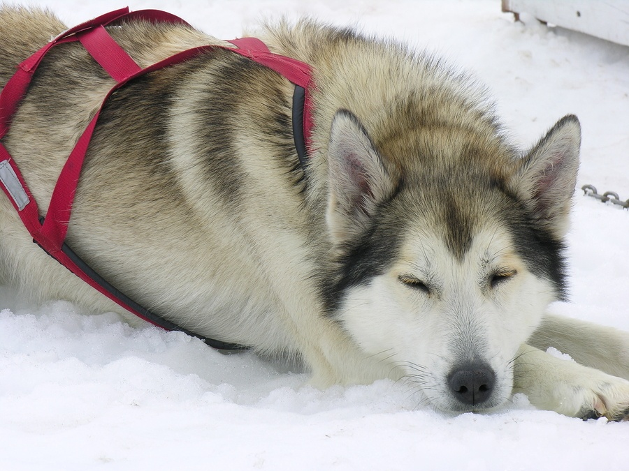 How Difficult Is It To Have A Siberian Husky Alaskan Malamute Or