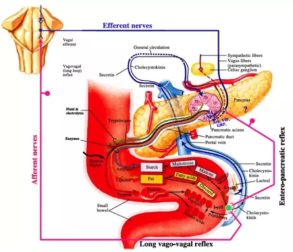 What Are Some Relevant Examples That Explain Why The Pancreas Gland