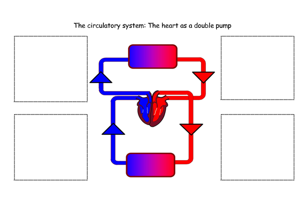 Does the heart really perform double circulation, or is it ...