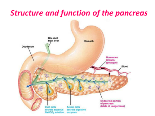 What Is The Function Of The Pancreas In Both Endocrine And Exocrine