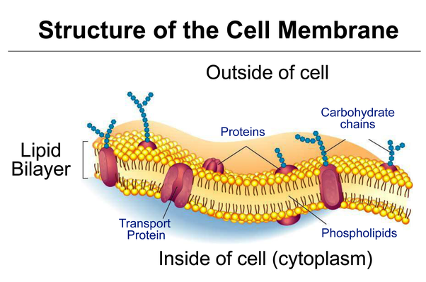 What does a cell membrane do for a cell? - Quora