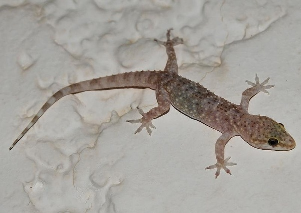 What Is The Natural Habitat Of The Mediterranean House Gecko Or