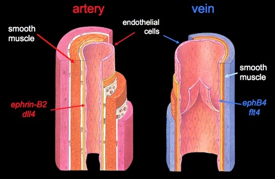 How to differentiate a vein from an artery - Quora