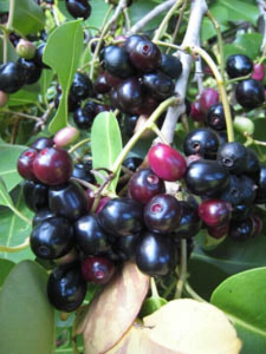 What Are The Native Fruits Of India Quora