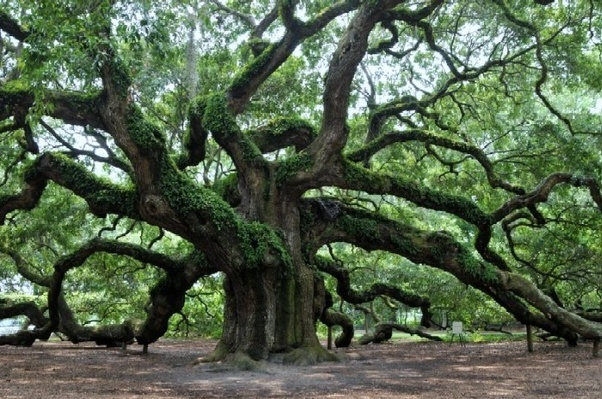Angel Live Oak Tree Just Outside Charleston S C