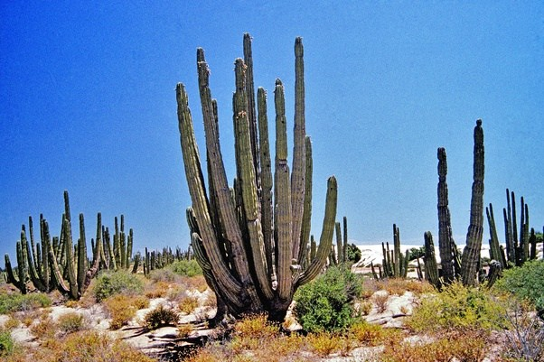 No Not A Desert That Is Old Growth Forest Nearly Pure Stand Of Pachycereus Pringlei Easily Some 200 Maybe 300 Years Older Than Most Regularly