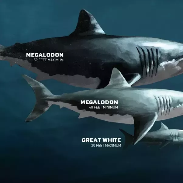 How big was a Megalodon compared to sharks today? - Quora