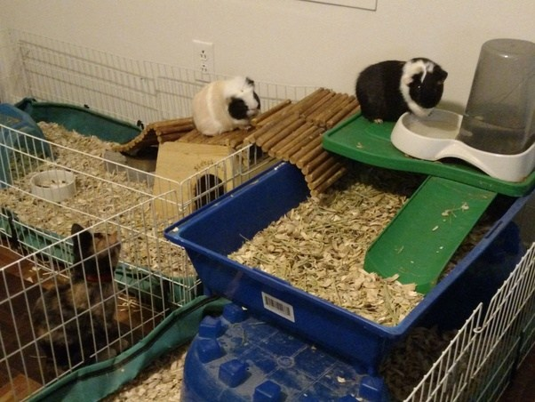 Popular What kind of cages are ok for guinea pigs to live in? - Quora AW85