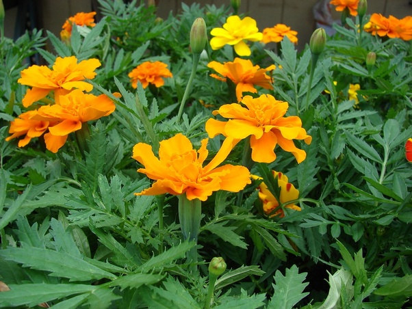 Whats the name of orange flower in coco film quora the mexican marigold tagetes erecta is native to mexico and has many horticultural varieties the original wildflower is orange or yellow like the ones mightylinksfo