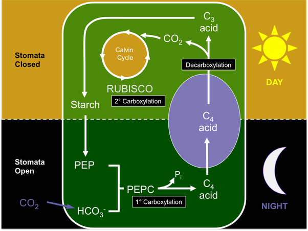 what are the 3 types of photosynthesis