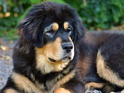 Is It Rare For A Puppy To Have Rottweiler Markings Even Though It