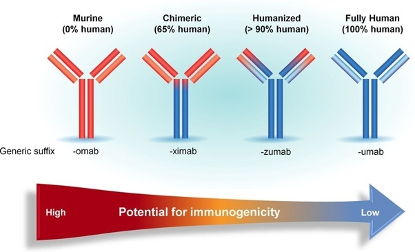 How are fully human antibodies developed using transgenic ...