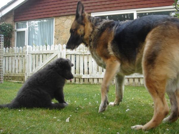 How Do Newborn German Shepherd Puppies Look Like Quora
