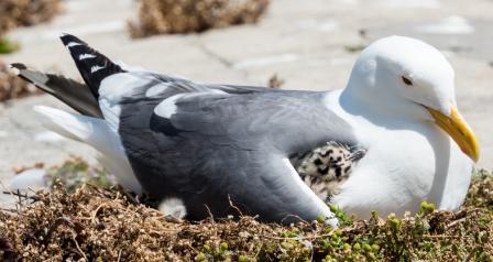 Do seagulls neglect their children? - Quora