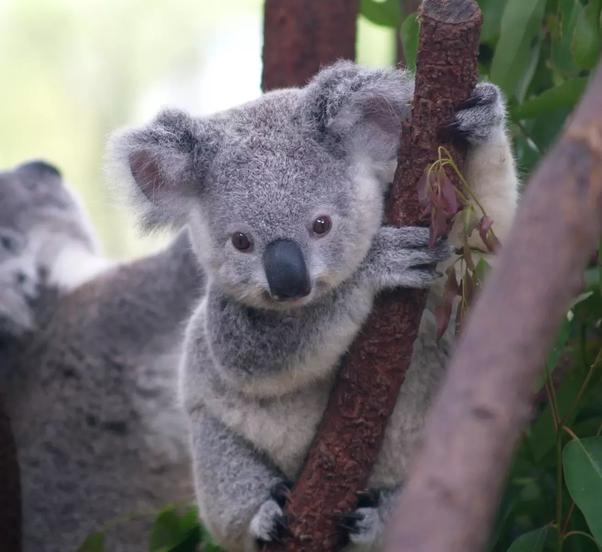 what is koala chlamydia