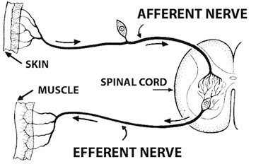 What examples of the functions of the somatic nervous system are reflex arc diagram ccuart Choice Image