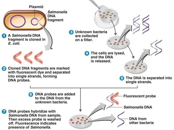 How are scientists able to identify specific bacteria quora for Fish fluorescent in situ hybridization