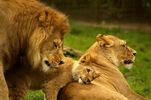 Do Lions Pretend To Be Hurt By Their Cubs To Encourage Them Quora