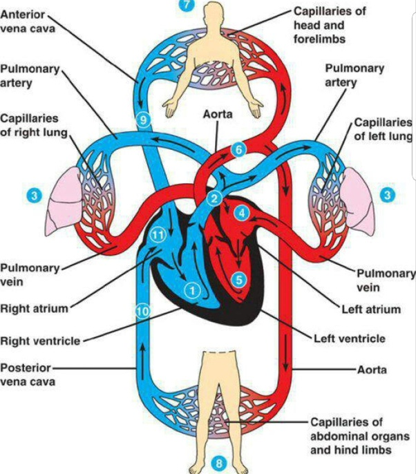 Why Is Blood Circulation In Human Known As Double