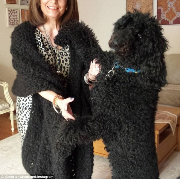 A woman wearing a black stole which looks like Persian or Astrakhan  lambswool, but which clearly comes from her huge Royal poodle.