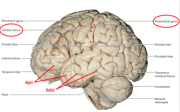 What Does Non Specific Shallow Cortical Hyperdensity In Left Post Central Gyrus Mean Quora Like other sensory areas, there is a map of sensory space in this location. central gyrus mean quora