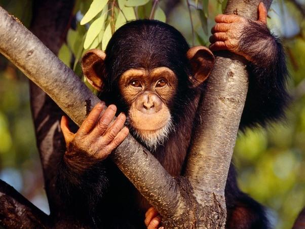 Wife chimp cum
