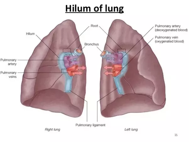 what do doctors specifically look for in an x ray to ... explain the water cycle wing with suitable diagram the apex base hilum lungs lobes diagram the withe