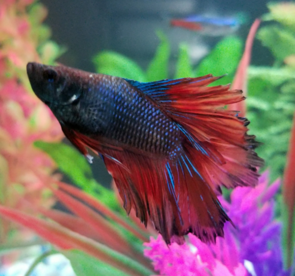 Can A Betta Fish Live For 3 Days Without Food Quora