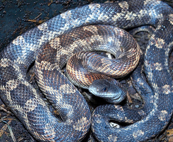 What's the difference between a Texas rat snake and an